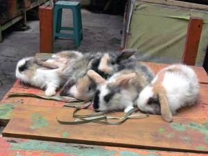 anak kelinci holland lop 3 minggu