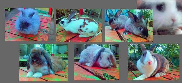 arnab rabbit kelinci pika jack rabbit jual