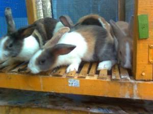 kelinci dutch tricolor, jual kelinci