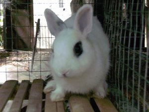 rabbit dwarf hotot kelinci mini kate