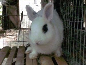 rabbit dwarf hotot kelinci mini kate
