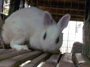 kelinci dwarf hotot rabbit