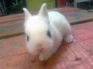 kelinci dwarf hotot laman blog