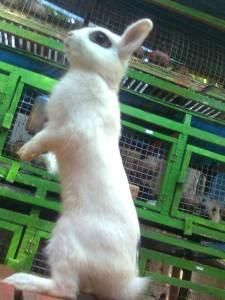 kelinci dwarf hotot