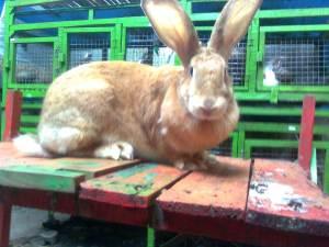 kelinci flemish giant vlaamsreus