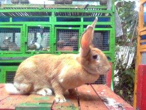 kelinci flemish giant bobot 8 kg