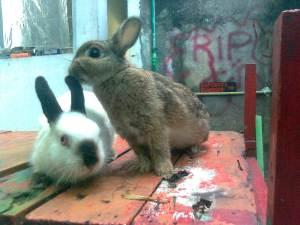 ternak kelinci himalayan netherland dwarf