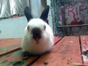 rabbit himalayan kelinci himalayan