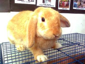 kelinci holland lop gold
