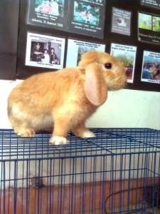 mempromosikan kelinci holland lop