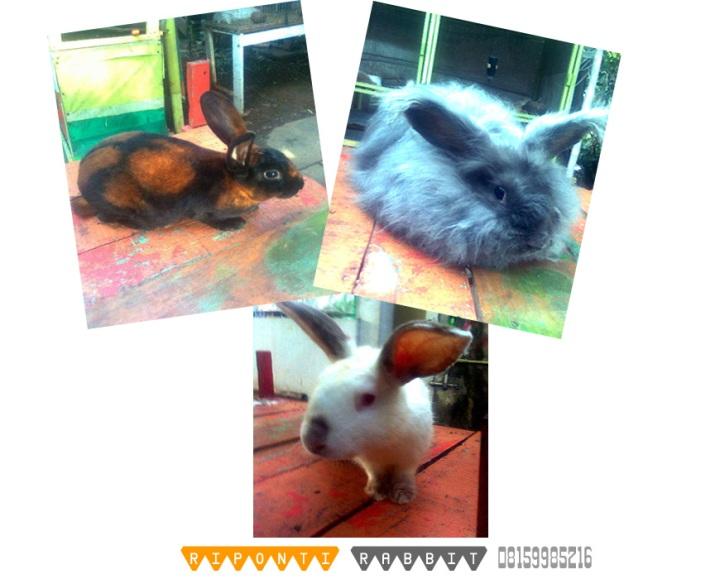 kelinci riponti rabbit peternakan kelinci perkelincian