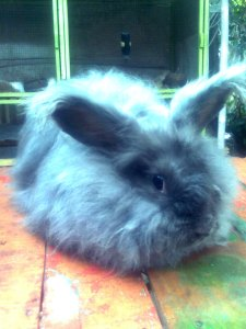 Angora giant rabbit