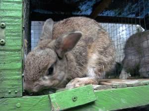 kelinci mini dwarf netherland