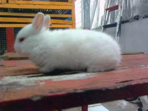 kelinci netherland dwarf putih mata merah seleksi bibit