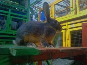 kelinci tan blue dari inggris
