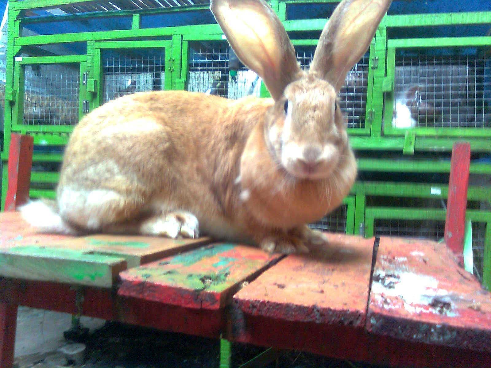 flemish giant rabbit and dog - photo #28