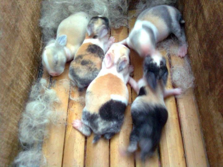 kelinci dutch bayi