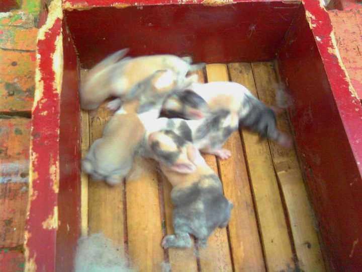 bayi kelinci dutch