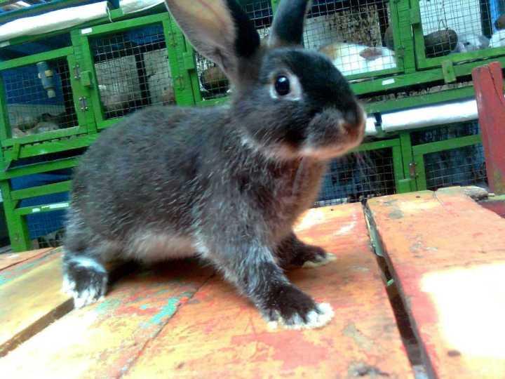 kelinci silver martens hitam