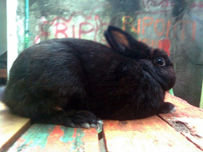 rabbit polish polandia