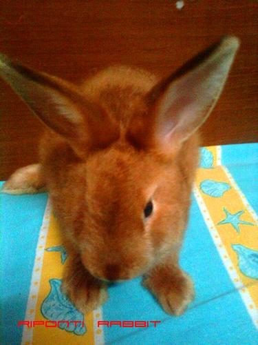 kelinci satin konijnen kanichen arnab