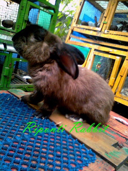Rabbit American Sable
