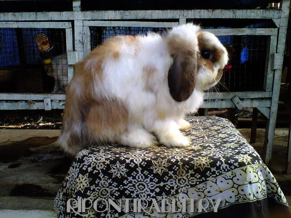 kelinci fuzzy lop body hindquater
