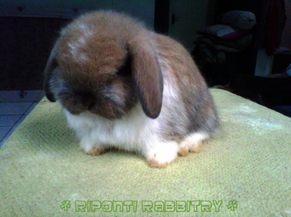 BJD Holland Lop