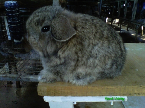 holland lop agouti